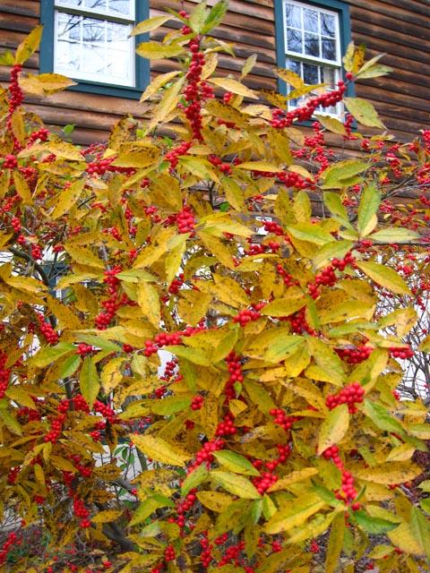 Winterberry08a