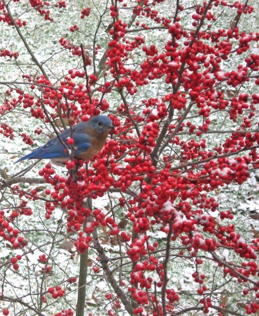 Bluebird1-09