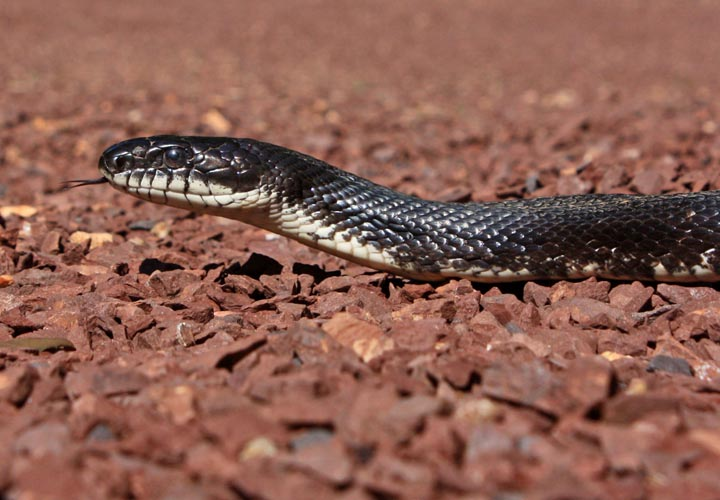 Blackratsnake09