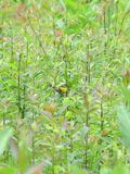 MEBUS CommonYellowthroatFemaleMaritonField0616