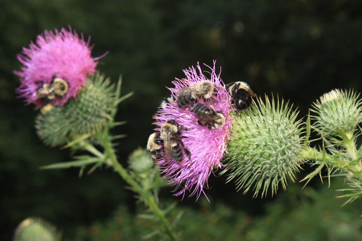 Bees-thistle3