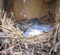 BLUE BIRDS 8.12.09 003