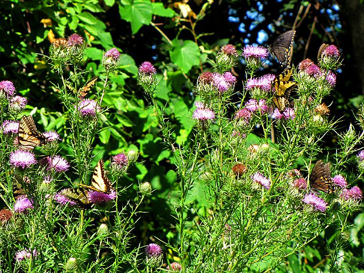 MEBUS SwallowtailsOnThistleMariton0904-2