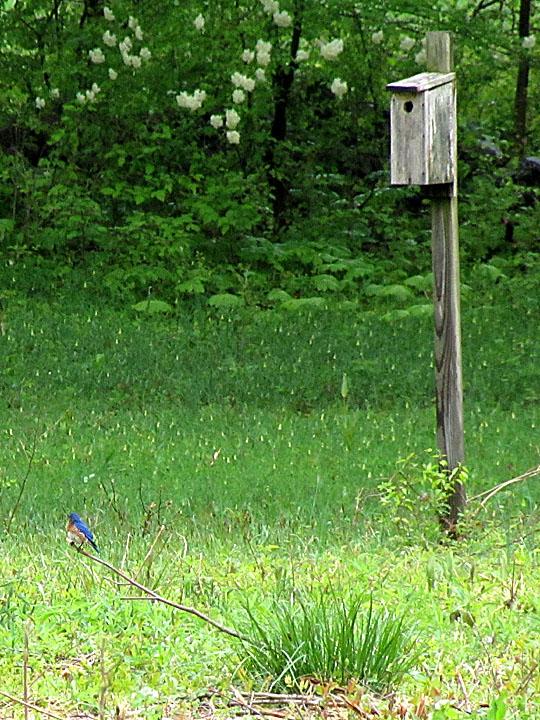 MEBUS BluebirdOnStickMaritonField0427