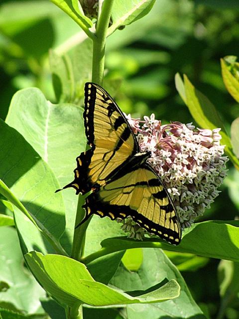 MEBUS TigerSwallowtailOnMilkweedMariton0608