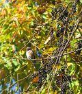 MEBUS BluebirdAndWildGrapesMaritonFieldEdge1013