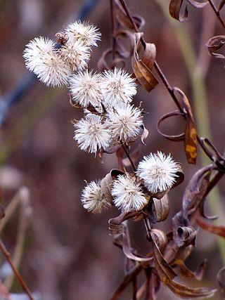 MEBUS FlowersGoneToSeedMaritonFields1123-8