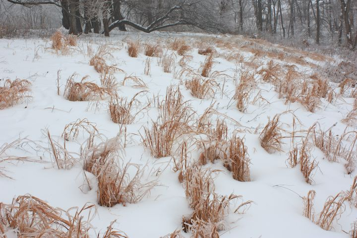 Littlebluestem in snow