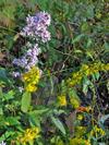 Astergoldenrod