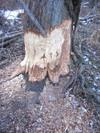 Beaverchewing