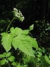 Osmorhiza