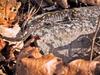 Salamanderspotted