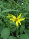 Sunflower_1