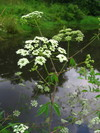Waterhemlock