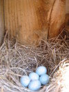Bluebird_eggs_41905