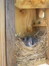 Bluebirds1