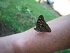 Butterfly_count_053