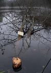 Beaver_tree_with_nlt_sign2_1