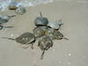 Horseshoe_crab_spawning_2005_23