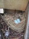 Bluebird_eggs_71907_002