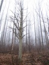 Cedar_trees_002