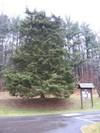 Cedar_trees_003