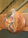 Wood_thrush_001