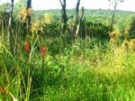 Cardinalflowerhabitat