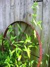 Wagonwheel